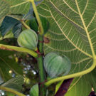 white_kadota_fig_tree