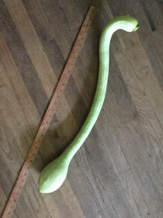 Big boy squash! Nearly 30 inches long...