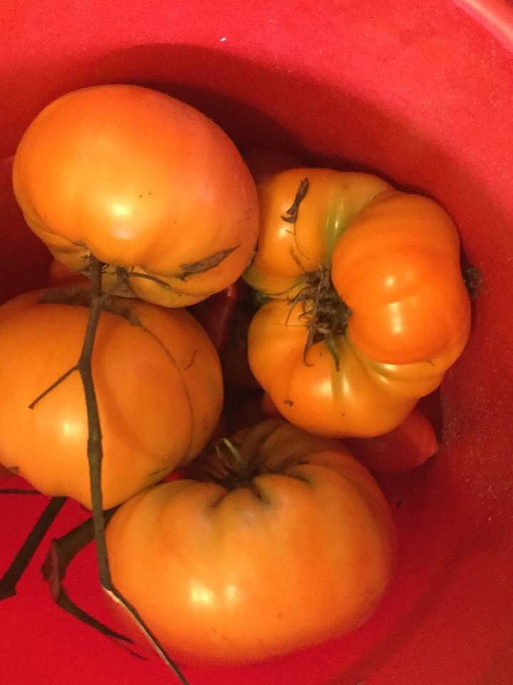 golden tomatoes in bucket